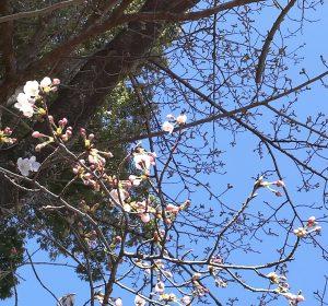 3月17日桜2分咲、気温20℃